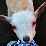 Baby Miniature Dire Goat