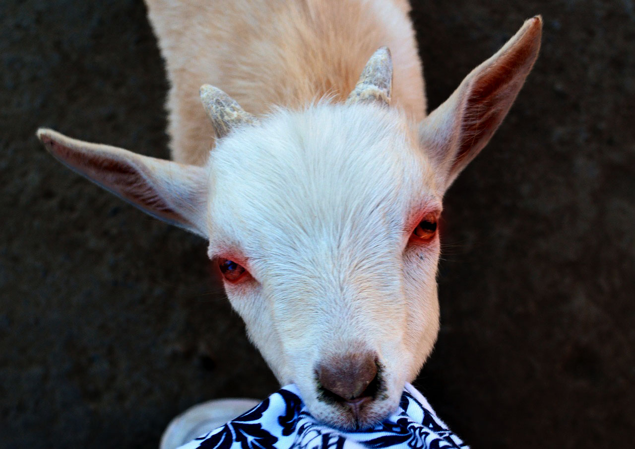 Baby Miniature Dire Goat