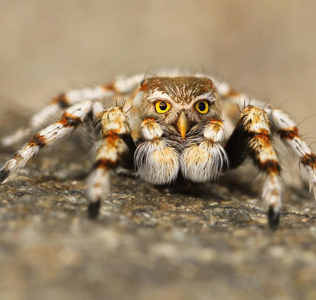 spiderowl